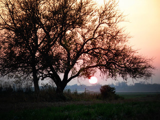 Tree Silhouette in the field at Pink and Orange Sunset with Sun