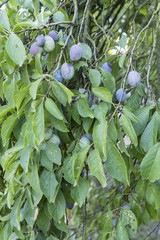 Ripe plums on a tree with green leaves.