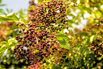 ripe elder berries in summertime in Germany