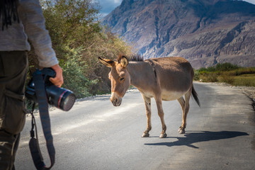 Donkey standing on the road with traveller photographer at Nubra Valley landscape , Leh, Ladakh district, India.