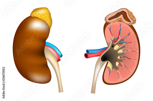 Adrenal Gland Diagram | The Structure Of The Kidneys And Adrenal Gland Human Kidney Medical