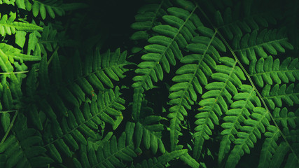 Photo of fern (Pteridium aquilinum) leaf in summer mixed forest, on the black background, clear contours of fresh greenery with soft sunlight