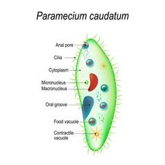 Structure of a paramecium caudatum
