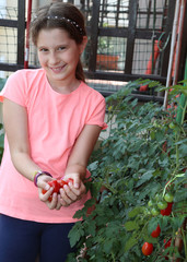 little girl collecting tomatoes from the plant