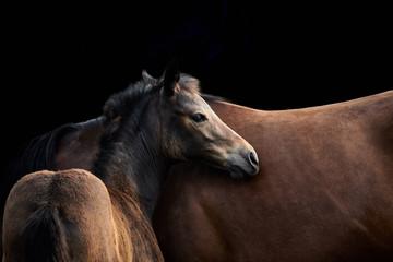 Fohlen und Mutter Stute. Zwei braune Pferde und schwarzer Hintergrund
