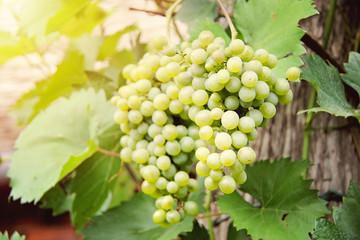 Beautiful Green Grapes in Vineyard Closeup in the sunshine
