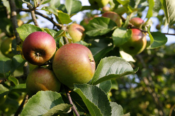 Apples growing on an apple tree in Summer