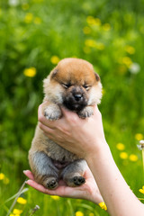 Portrait of cute two weeks old shiba inu puppy in the hands of the owner in the buttercup meadow