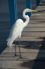 Beautiful white heron on a deck