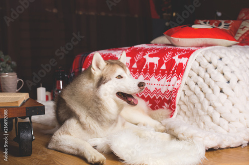 profile portrait of siberian husky in christmas decorations - Husky Christmas Decoration