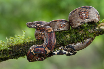 A boa constrictor photographed in Costa Rica