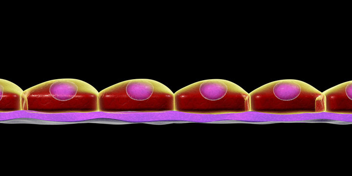 Simple squamous epithelium, 3D illustration. Histology background. It is found in alveoli, forms lining of blood vessels, heart cavities