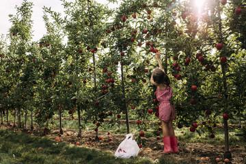 Full length of girl harvesting apple from tree at farm