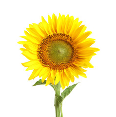 Beautiful bright sunflower on white background
