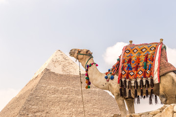 Camel near pyramids and ankh in desert