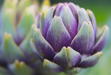Close up of Young Artichoke