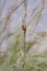 Ladybug on Tall Grasses Blowing in the Breeze