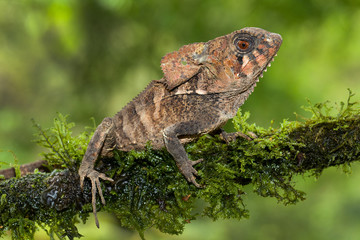 helmeted basilisk photographed in Costa Rica