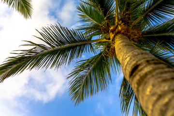 View from below of a palm tree against a vibrant tropical summer blue sky in a resort in Mexico in the carribean