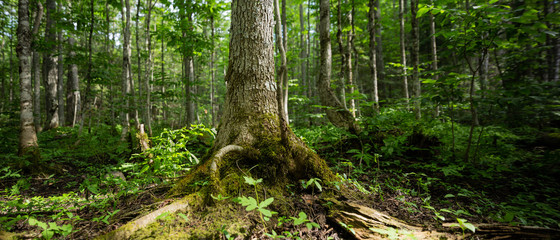 Large Tree in Forest Centered Close Up Panorama