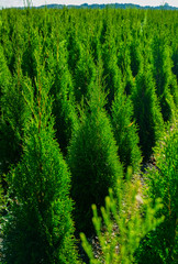 Green thuja coniferous decoration oriental plants growing on plantations in Netherlands