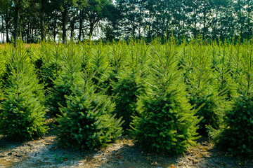 Plantatnion of young green fir Christmas trees, nordmann fir and another fir plants cultivation, ready for sale for Christmas and New year celebratoin