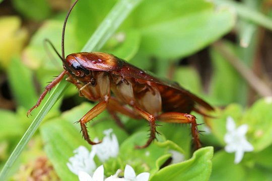 Cockroach on the grass