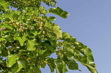 Branch with ripe and unripe fruits of White mulberry or Morus alba tree in garden, district Drujba, Sofia, Bulgaria