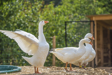 Beautiful white geese in the zoo on summer sunny day