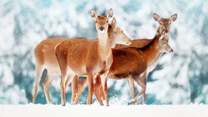 Wall Mural - A group of beautiful female deer in the background of a snowy white forest. Noble deer (Cervus elaphus).  Artistic Christmas winter image. Snowing. Selective focus.
