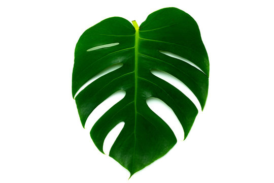 Monstera miltiple leaves leaves isolated on white background. flat lay design