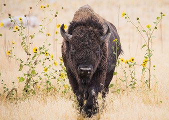 Bison in Wildflowers