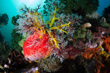 Red Sea Apple on Coral Reef in Indonesia