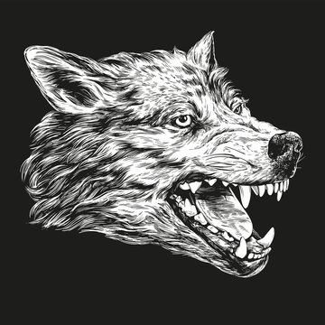 muzzle of a wolf, wildlife hand drawn vector illustration realistic sketch white on a black background