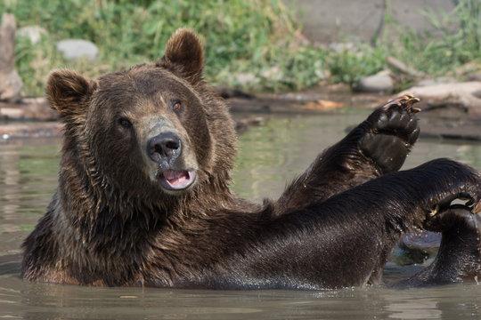 Alaskan grizzly bear (brown bear) swimming waving hello cute paws