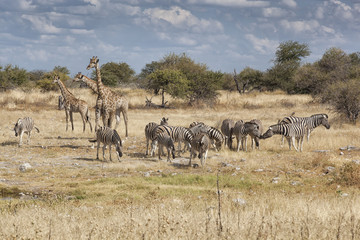 giraffes and zebras in the dry afican bush