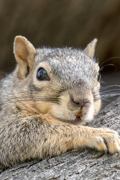 Eastern Fox Squirrel, Fox Squirrel, Bryant's Fox Squirrel - Sciurus niger