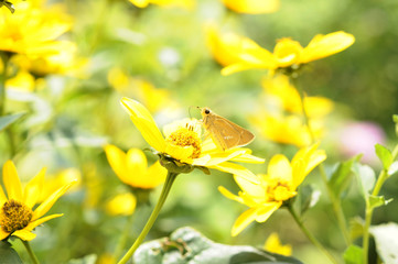 花と蝶 ルドベキア オオチャバネセセリ