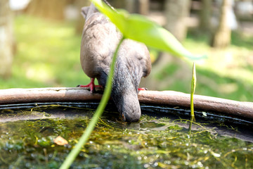 Beautiful pigeon bird stands and drinks water