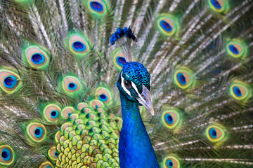 Flaunting Peacock