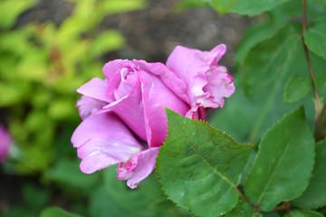 Rose, flowers, garden, summer, роза, розы, королева сада, розарий