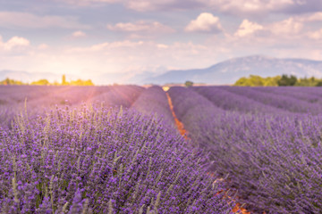Photo Blinds Lavender Champ de lavande de Valensole