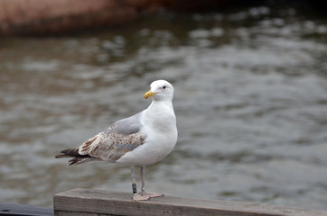 Ringed seagull in the Bay of Oslo in front of the modern building of the Opera.