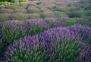 Blooming Lavender Fields