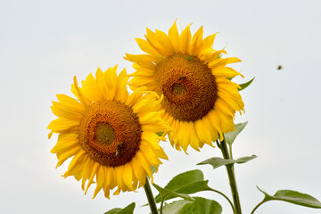 Two sunflowers on a field.