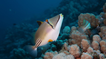 Arabian trigger fish swimming on his reef in the Red Sea, Egypt