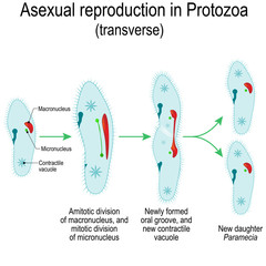 Asexual reproduction in Protozoa. Paramecia division