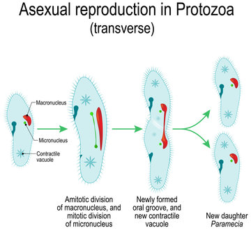 Asexual reproduction in Protozoa. Paramecia division