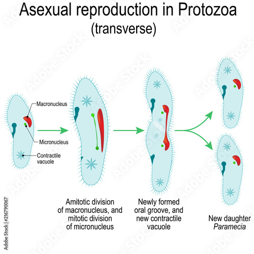 Asexual reproduction in paramecium caudatum size