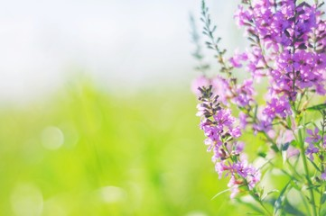 Beautiful summer natural photography/ Purple wild flowers and green grass